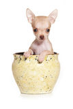Chihuahua dog Royalty Free Stock Photography