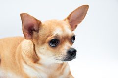 Chihuahua dog Stock Photography