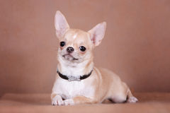The Chihuahua dog. With black beautiful collar Royalty Free Stock Photo