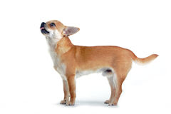 Chihuahua dog. Standing chihuahua dog with tonque Royalty Free Stock Photos