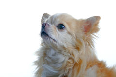 Chihuahua dog. Head shot of a chihuahua dog Stock Photography