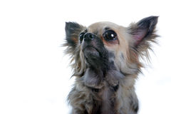 Chihuahua dog. Headshot Royalty Free Stock Photography