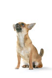 Chihuahua dog. Sitting down and looking upwards Royalty Free Stock Images