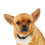 Chihuahua Dog in Anti Flea Collar Isolated on White Background. Stock Images