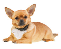 Chihuahua Dog in Anti Flea Collar Isolated on White Background. Closeup Stock Photo