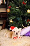 Chihuahua dog asleep under the christmas tree, new year card Royalty Free Stock Photos