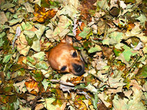 Chihuahua Dog in Autumn Leaves. Adorable chihuahua enveloped by colorful autumn leaves Stock Photos