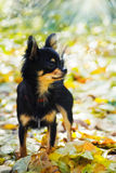 Chihuahua dog in autumn park Stock Image