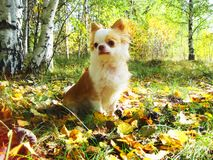 Chihuahua dog with autumn trees in the forest stock image