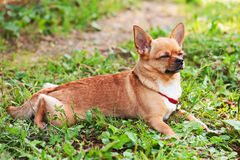 Chihuahua dog on background of green grass with eyes closed. Royalty Free Stock Photo
