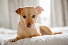Chihuahua Dog Backlit on Bed Stock Images