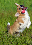 Chihuahua dog with ball Stock Image
