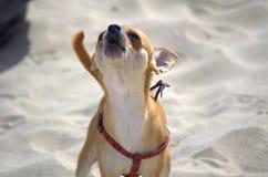 Chihuahua dog barking. Chihuahua dog barks on sandy beach Stock Image
