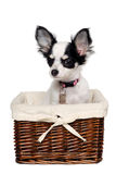 Chihuahua dog in a basket. Chihuahua dog is sitting in a basket. Isolated on a white background Stock Image