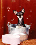 Chihuahua Dog in Bath Tub With Bubbles Royalty Free Stock Image