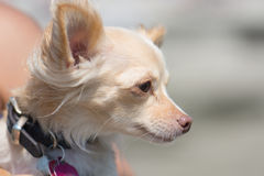 Chihuahua Dog at the Beach. Looking. Side of head. Chihuahua dog on the beach. Dog Beach San Diego, California stock images