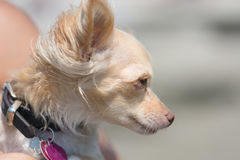 Chihuahua Dog at the Beach. Looking. Side of head. Chihuahua dog on the beach. Dog Beach San Diego, California royalty free stock photos