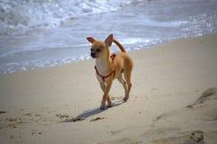 Chihuahua dog on the beach Stock Photo