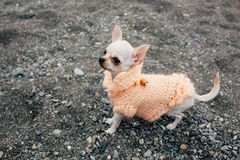 Chihuahua dog on the beach wearing flowers shirt. royalty free stock images