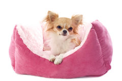 Chihuahua and dog bed Royalty Free Stock Photo