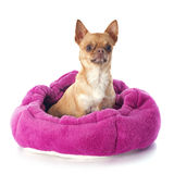 Chihuahua in dog bed Stock Photo