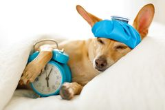 Dog sick or ill in bed. Chihuahua dog in bed resting or sleeping , with alarm clock feeling sick and ill with a hangover from last night royalty free stock photography