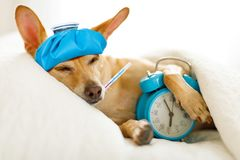 Dog sick or ill in bed. Chihuahua dog in bed resting or sleeping , with alarm clock feeling sick and ill with a hangover from last night stock photos