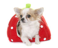 Chihuahua in dog bed Royalty Free Stock Image