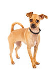 Chihuahua Dog With Big Brown Eyes Standing Stock Photography