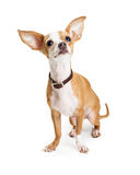 Chihuahua Dog Big Ears Looking Up Stock Photo