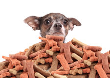 Chihuahua and dog biscuits Royalty Free Stock Photo
