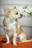 The Chihuahua dog Stock Photography