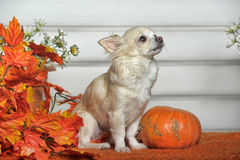 The Chihuahua dog Royalty Free Stock Photo