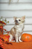 The Chihuahua dog Royalty Free Stock Image