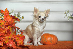 The Chihuahua dog Stock Images