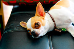 Chihuahua dog on the black sofa royalty free stock images