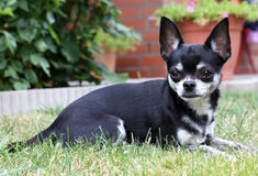Chihuahua dog. A black and white Chihuahua dog Royalty Free Stock Images