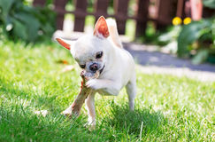 Chihuahua and dog bone Royalty Free Stock Images