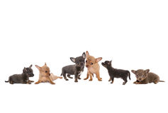 Chihuahua dog border Stock Photo