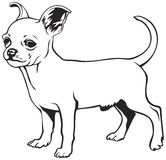 Chihuahua dog breed Royalty Free Stock Photos