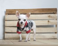 Chihuahua dog breed royalty free stock images