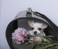 Chihuahua dog breed in a booth and with a peony royalty free stock photos