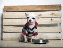 Chihuahua dog breed royalty free stock photography