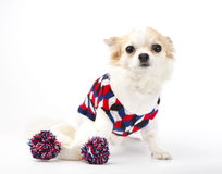 Chihuahua dog with bright sweater and scarf Royalty Free Stock Images