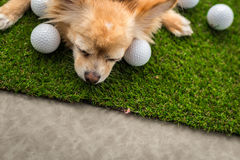 Chihuahua dog brown color sleeping next to golf ball on green gr Stock Images
