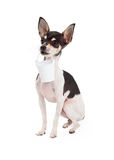 Chihuahua Dog Carrying Bucket Royalty Free Stock Photo