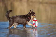 Chihuahua dog carrying a life buoy Royalty Free Stock Photography