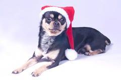 Chihuahua dog christmas. Cute chihuahua dog with christmas hat Stock Photos