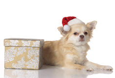 Chihuahua dog on christmas isolated Royalty Free Stock Images