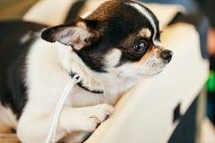 Chihuahua dog close up portrait Stock Photos